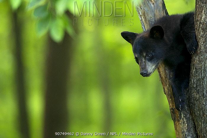 Black bear (Ursus americanus) cub resting in a tree, Minnesota, USA, June