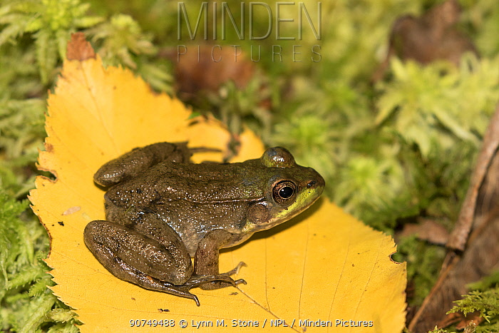 Juvenile Green Frog (Lithobates clamitans) on poplar leaf and moss; Connecticut, USA