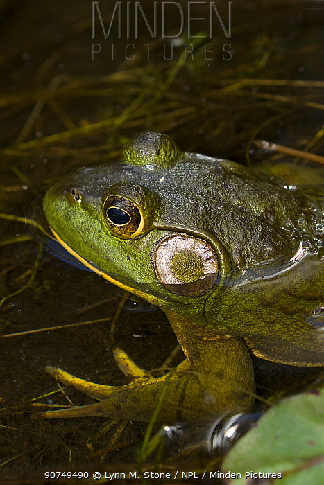 Bullfrog (Lithobates catesbeiana) in pond shallows, among lily pads, Connecticut, USA