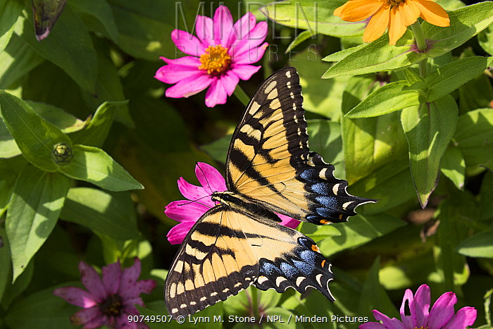 Eastern Tiger Swallowtail Butterfly (Papilio glaucus) nectaring on flower in farm garden, Connecticut, USA