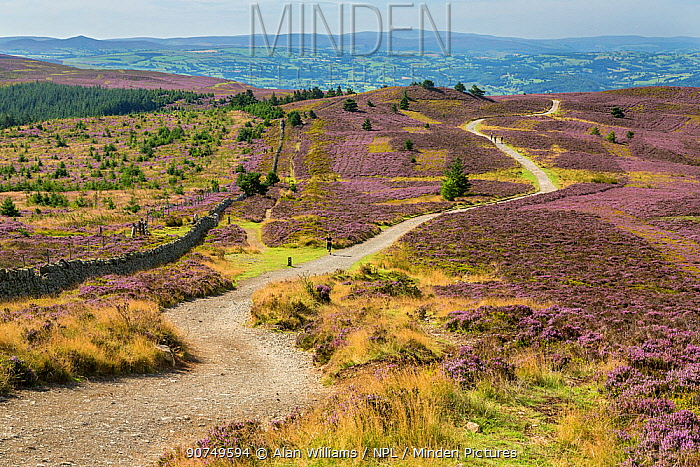 Offa's Dyke path viewed from the summit of Moel Famau in the Clwydian Mountain Range with the Vale of Clwyd in the distance, North Wales, UK, August.
