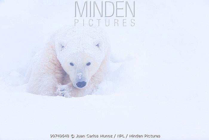 Polar bear (Ursus maritimus) huddled in snow, Churchill, Hudson Bay, Manitoba, Canada. November.
