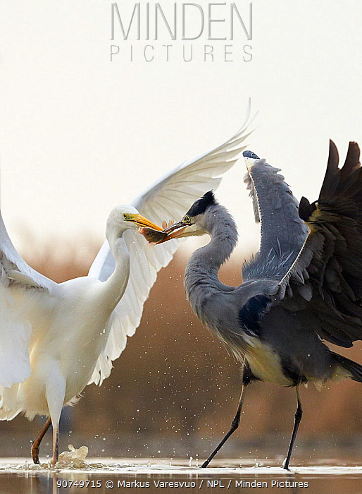 Great White Egret (Ardea alba) and Grey Heron (Ardea cinerea) fighting over fish prey, Hungary, January. Sequence 1/2.