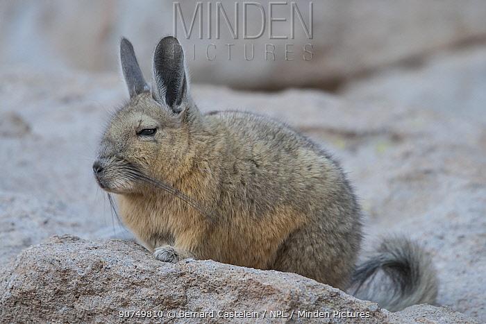 Southern Viscacha (Lagidium viscacia) at rest, Siloli Desert, altiplano, Bolivia