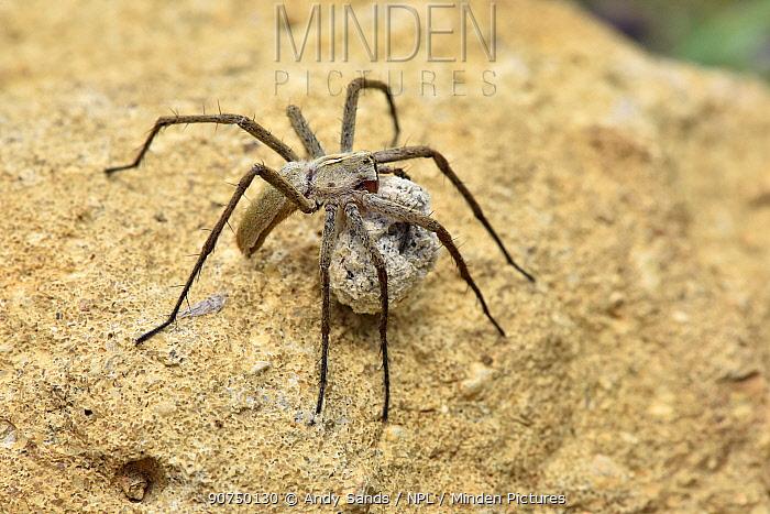 Nursery web spider (Pisaura mirabilis) female carrying egg sack, Oxfordshire, England, UK, June