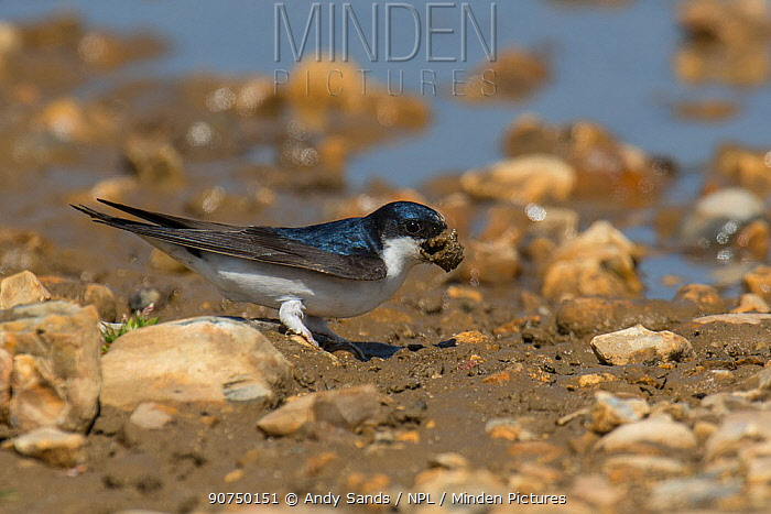 House Martin (Delichon urbicum) collecting mud from puddle, Hampshire, England, UK, May