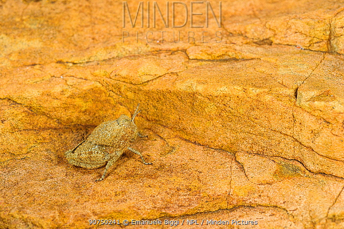 Toad grasshopper (Lamarckiana sp), young specimen very well camouflaged on a rock, Karoo region, South Africa