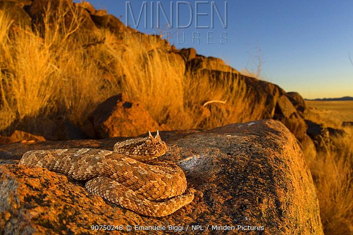Horned adder (Bitis caudalis) camouflaged in its environment, Namib Naukluft National Park, Namibia June