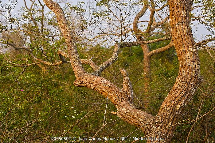 Great potoo (Nyctibius grandis) camouflaged in tree, Panatal, Brazil.