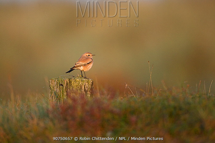 Desert Wheatear (Oenanthe deserti), Norfolk, UK, October.