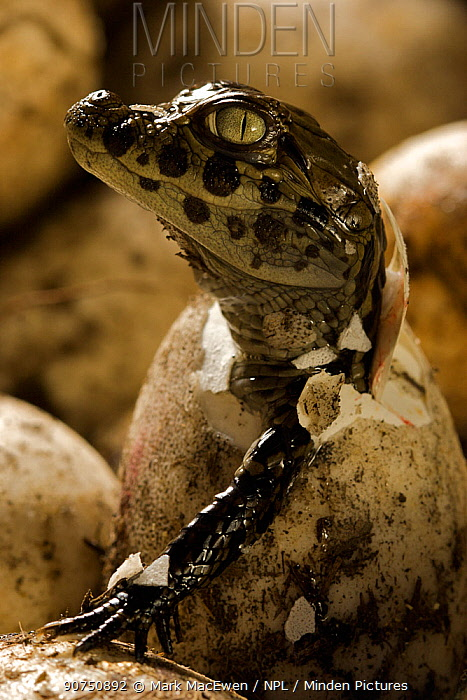 Broad snouted caiman (Caiman latirostris) hatching from egg in nest, Sante Fe, Argentina, February