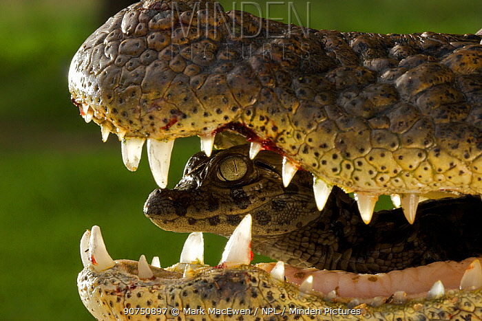 Broad snouted caiman (Caiman latirostris) baby in mothers mouth being carried from nest, Sante Fe, Argentina, February
