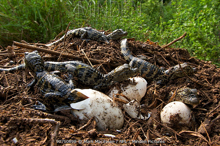 Broad snouted caiman (Caiman latirostris) young emerging from the nest, Sante Fe, Argentina