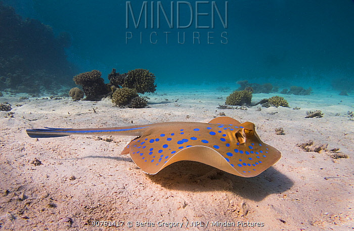 Bluespotted ribbontail ray (Taeniura lymma) swmming across a sandy lagoon off of Gubal Island, northern Red Sea.