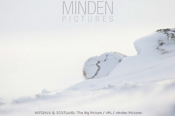 Mountain hare (Lepus timidus) in white winter coat covered in snow, Scotland, UK.