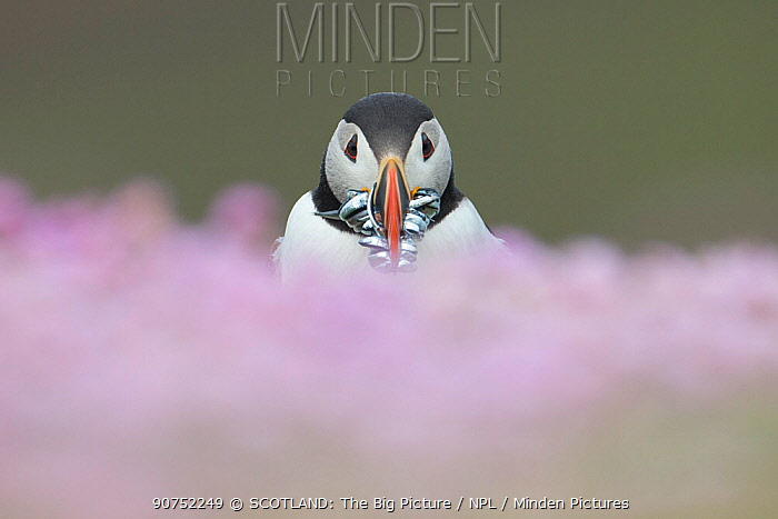 Atlantic puffin (fratercula arctica) with Sand eels, amongst thrift, Fair Isle, Shetland, Scotland, UK, July.