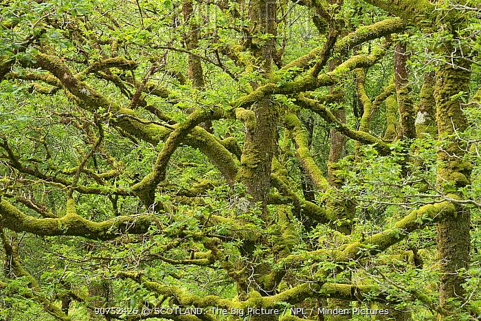 Sessile oak (Quercus petraea) in ancient oak woodland, Sunart Oakwoods, Ardnamurchan, Lochaber, Highland, Scotland, UK, June.