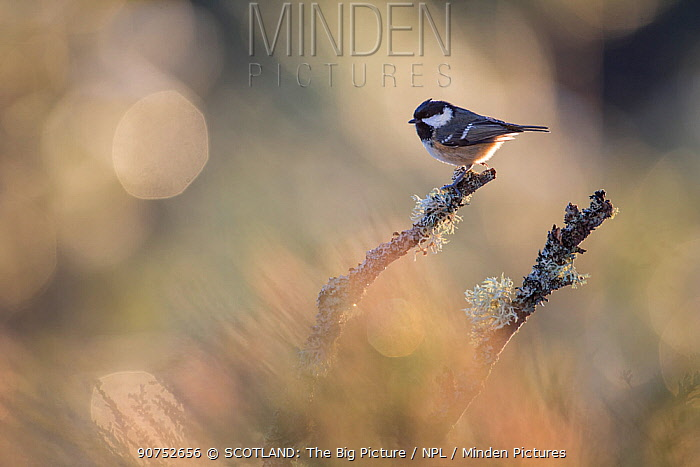 Coal tit (Periparus ater) backlit, perching on lichen covered branch, Glenfeshie, Cairngorms National Park, Scotland, UK, January.