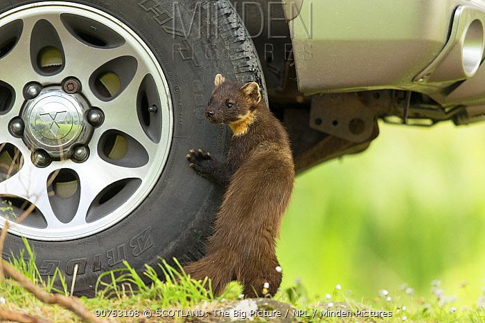 Pine marten (Martes martes) standing against tyre of vehicle on garden driveway, Scotland, UK, June 2014.