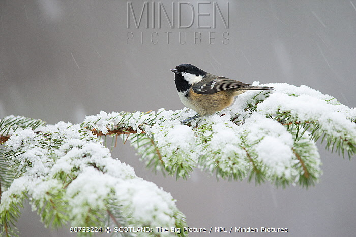 Coal tit (Periparus ater) perching on pine branch in snow, Scotland, UK, January.