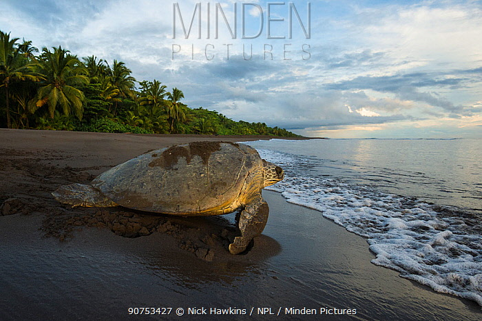 Green Sea Turtle Female Chelonia Mydas Walking On Beach After Nesting In Tortuguero National