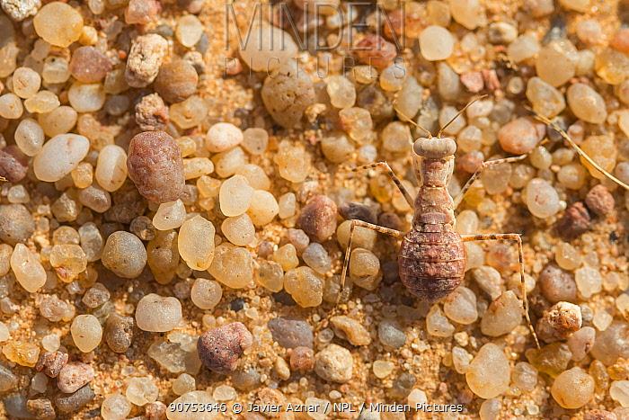 Desert Mantis (Eremiaphila sp.) in sand, Morocco.