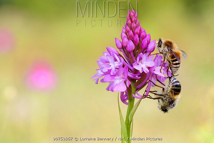 Bee-fly (Fallenia fasciata) mating on Pyramidal orchid (Anacamptis pyramidalis) flower, Alpilles Regional Natural Park, France, May.