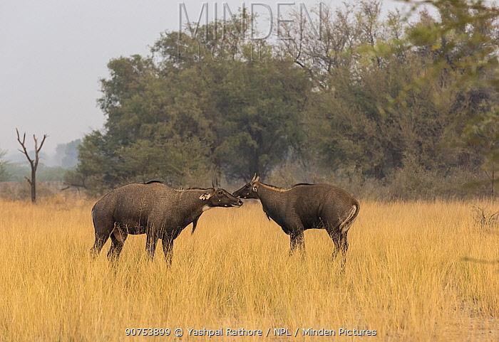 Nilgai or Blue bull (Boselaphus tragocamelus), males in aggressive posture. Tal Chhapar Wildlife Sanctuary, Rajasthan, India