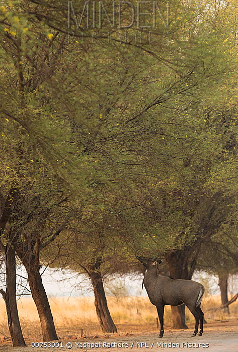 Nilgai or Blue bull (Boselaphus tragocamelus), male feeding. Tal Chhapar Wildlife Sanctuary, Rajasthan, India