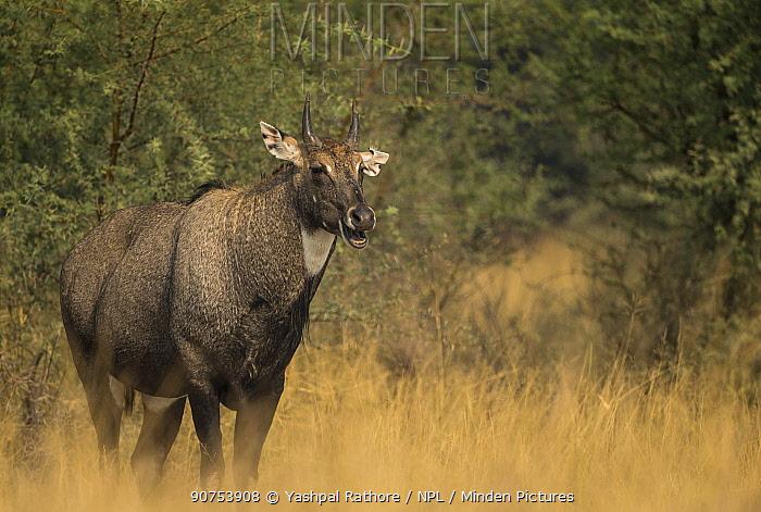 Nilgai or Blue bull (Boselaphus tragocamelus), front profile of dominating male. Tal Chhapar Wildlife Sanctuary, Rajasthan, India