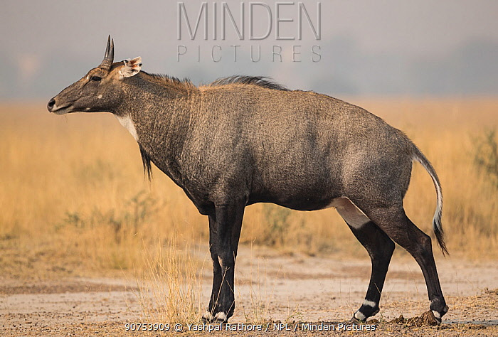 Nilgai or Blue bull (Boselaphus tragocamelus), male. Tal Chhapar Wildlife Sanctuary, Rajasthan, India