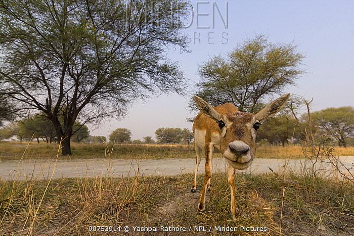 Blackbuck (Antelope cervicapra),  wide angle ground perspective of female, Tal Chhapar Wildlife Sanctuary, Rajasthan, India. Camera trap image