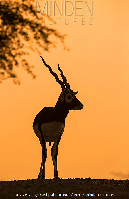 Blackbuck (Antelope cervicapra), male silhouette at sunset, Tal Chhapar Wildlife Sanctuary, Rajasthan, India