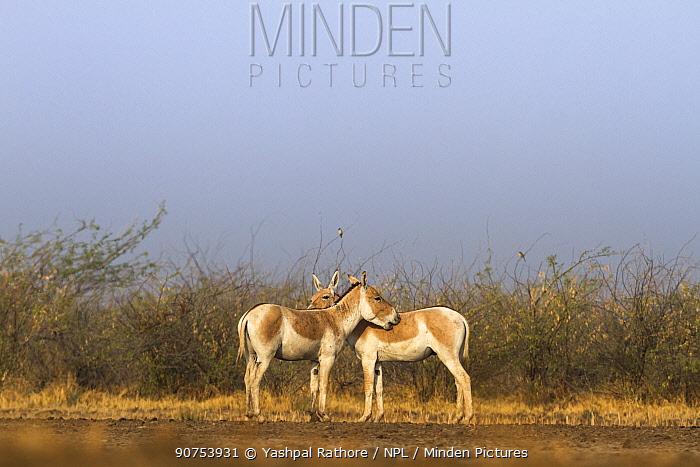 Indian wild ass (Equus hemionus khur), pair grooming each other, Little Rann of Kutch, Gujarat, India