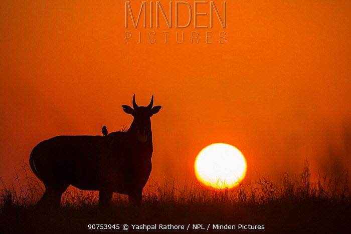 Nilgai or Blue bull (Boselaphus tragocamelus), silhouette of male at sunset, with  Black drongo bird on its back. Velavadar National Park, Gujarat, India