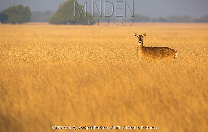 Nilgai or Blue bull (Boselaphus tragocamelus), female standing in grass. Velavadar National Park, Gujarat, India