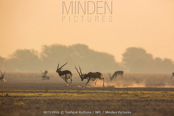 Blackbuck (Antelope cervicapra) male chasing another male from the lekking area. Tal Chhapar Wildlife Sanctuary, Rajasthan, India