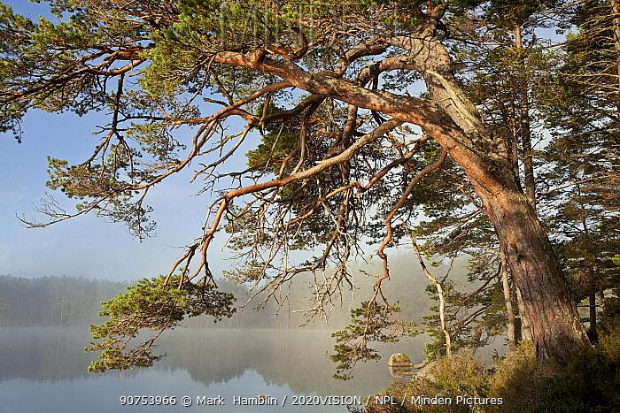 Scots Pine (Pinus sylvestris) and Loch Garten, Abernethy Forest, Cairngorms National Park, Scotland, UK, September 2011.