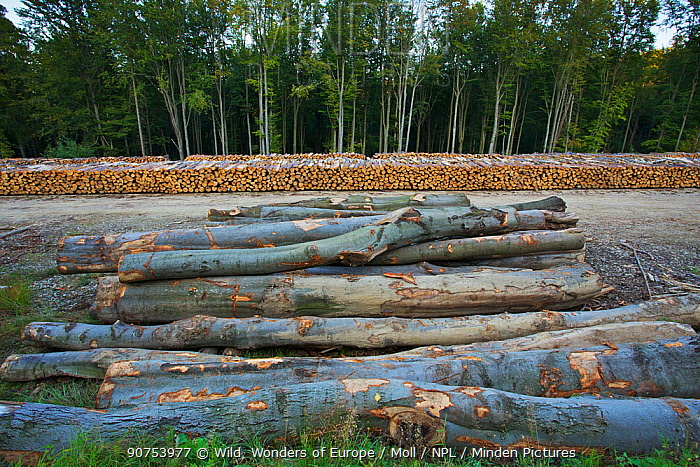 Cut logs of Scots pine (Pinus silvestris), Birch (Betula sp) and Common / European beech (Fagus sylvatica) at a state forestry wood yard near the Polish-Slovakian border, Poland, September 2011