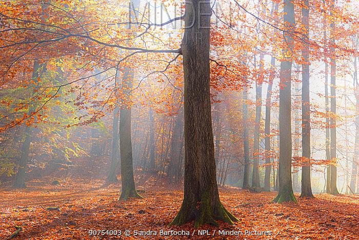 European beech (Fagus sylvatica). Mueritz National Park, Ancient Beech Forest UNESCO Heritage Site, Germany November 2015.