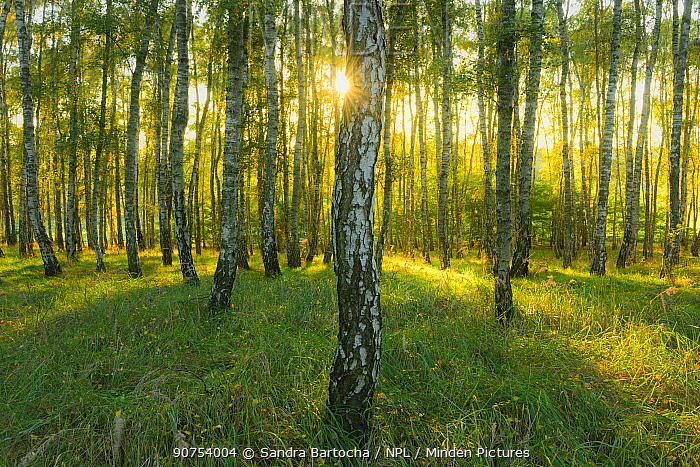 Silver birch (Betula pendula) woodland in sunshine. Moetzow, Germany, October 2015.