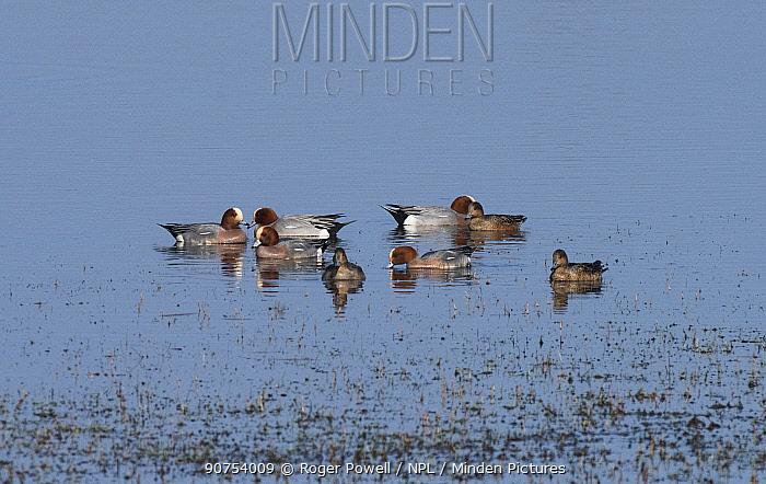 Small flock of migratory Wigeon (Anas penelope) gathered on a coastal pond. Druridge Pools Nature Reserve, Northumberland, England, UK. March.