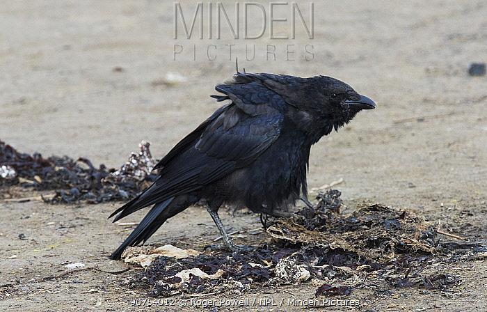 Carrion Crow (Corvus corone) feeding on tideline detritus. Druridge Pools Nature Reserve, Northumberland, England, UK. August.