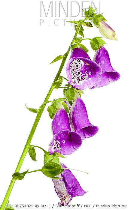 Foxglove (Digitalis purpurea) flowers, B�chelberg, Pfalz, Germany. June. Meetyourneighbours.net project