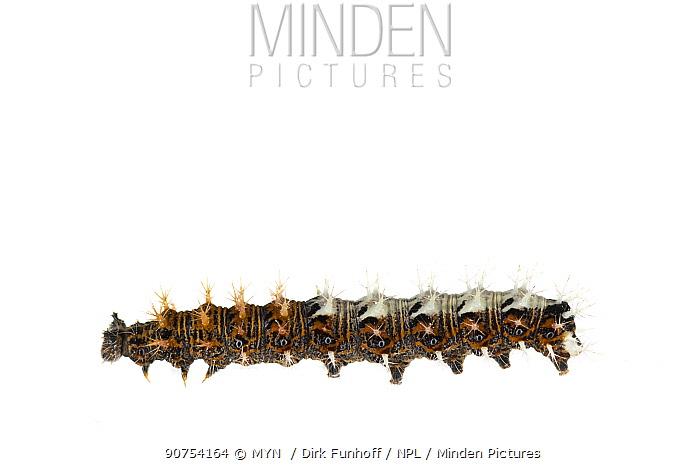 Comma butterfly (Polygonia c-album) caterpillar, Lorsch, Hessen, Germany. May. Meetyourneighbours.net project