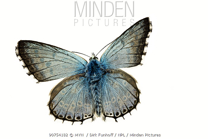 Chalkhill blue butterfly (Polyommatus coridon), Lorsch, Hessen, Germany. Meetyourneighbours.net project