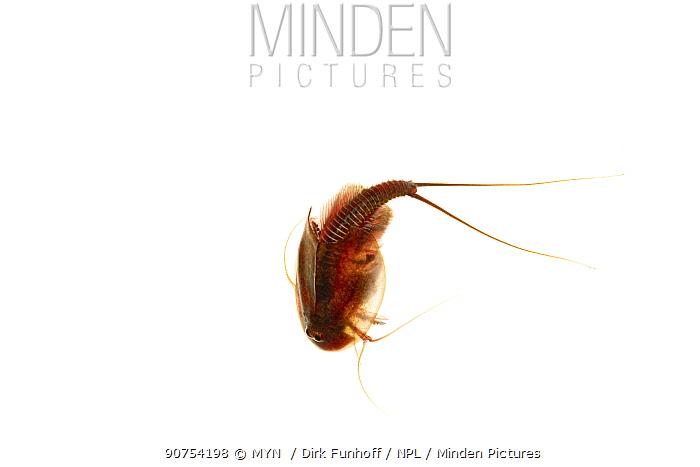 Tadpole shrimp (Triops cancriformis), M�hldorferstrasse, Mannheim, Germany. August. Meetyourneighbours.net project