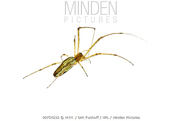 Common stretch-spider (Tetragnatha extensa), Staudernheim, Pfalz, Germany. June. Meetyourneighbours.net project