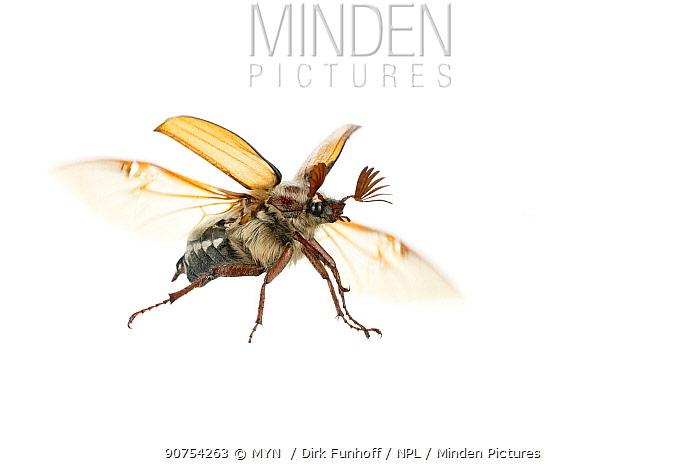 Forest cockchafer beetle (Melolontha hippocastani), Pfalz, W�rth am Rhein, Pfalz, Germany. May. Meetyourneighbours.net project