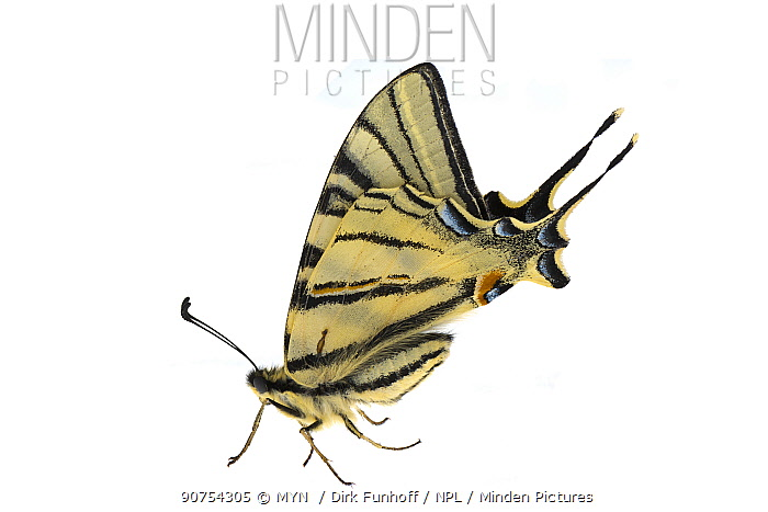 Scarce swallowtail butterfly (Iphiclides podalirius), Lorsch, Hessen, Germany. April. Meetyourneighbours.net project